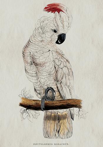 Erstwhile's cockatoo
